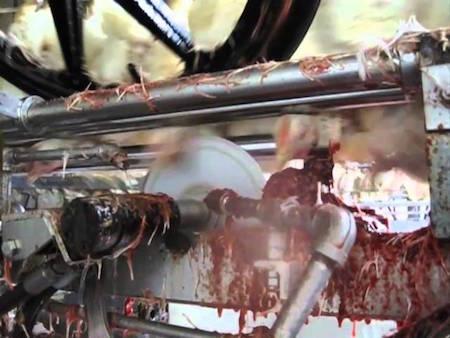 abattage mecanique poulet
