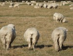 mouton aid