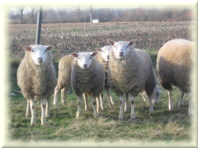 Achetez votre mouton en Belgique pour l'aïd el-kebir