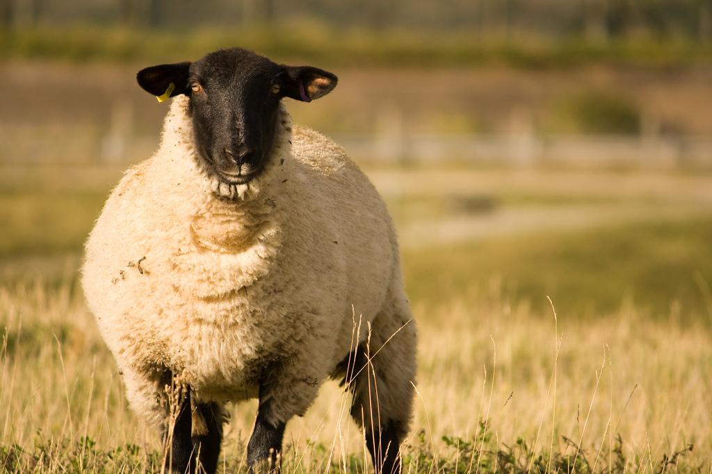 mouton aid adha