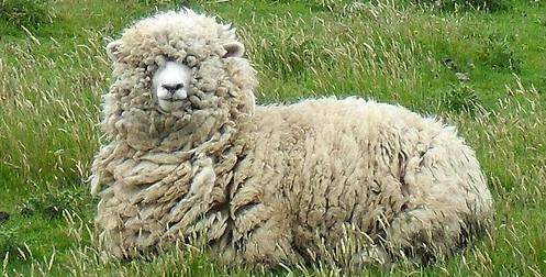 halal halal a d al adha mieux vaut ne pas acheter son mouton le premier jour. Black Bedroom Furniture Sets. Home Design Ideas