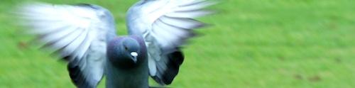 Pigeon vole