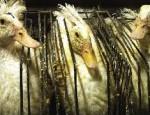 foie_gras_pmaf
