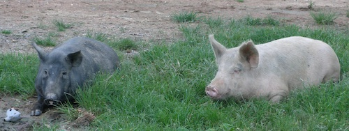 Fatwa : Nestlé considère-t-il que le porc peut être halal ?