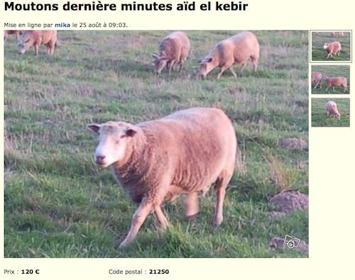 Urgent : deux moutons à vendre pour l'aïd