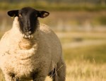 mouton-sheep