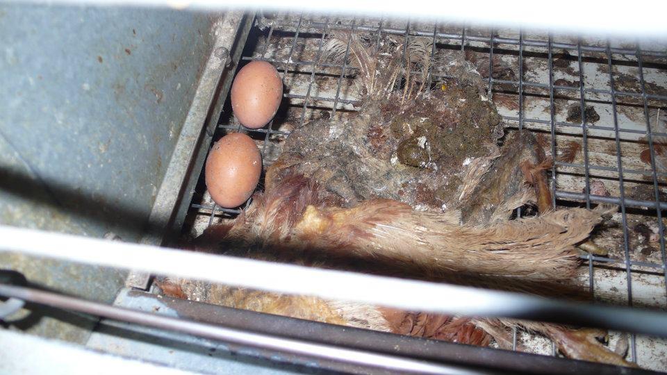 Elevage de poules pondeuses en image