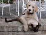 chien-chat-kuwait
