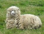 Mouton de l'aïd