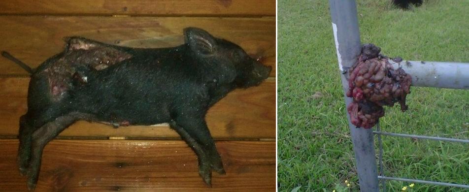 Houston : un porc éviscéré déposé devant la porte d'une mosquée