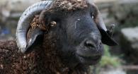 mouton aïd prix