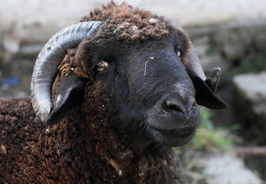 Mouton de l'aïd : combien l'avez-vous payé ?...