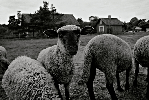 sheep - Kris Haamer