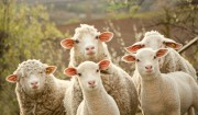 mouton aid al adha
