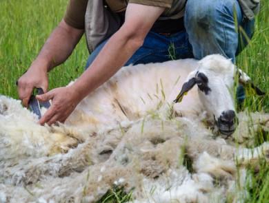 mouton tondu