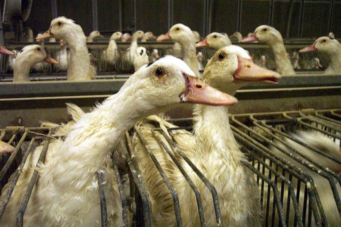 foie gras halal 10