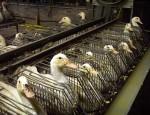 foie gras halal