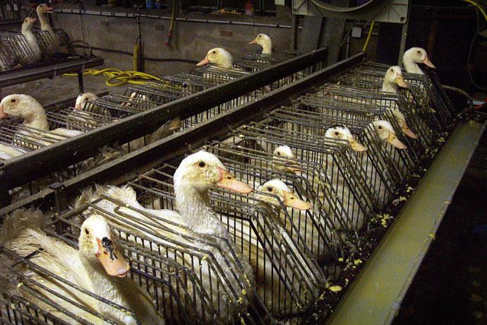 foie gras halal 13