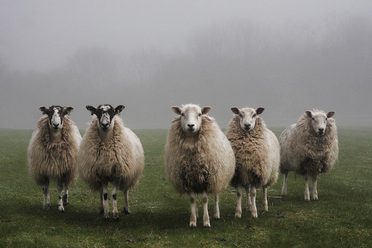Aïd al-adha : vouloir son mouton le premier jour encourage fraudes et hausse des prix