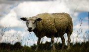 mouton aid 1438