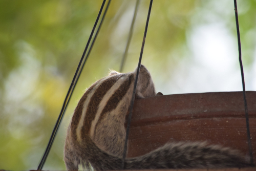 canicule ecureuil